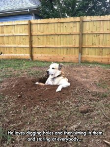 funny-dog-back-yard-hole-digging